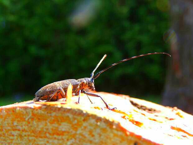 Скрипун большой осиновый: описание и биологическое развитие вредителя леса