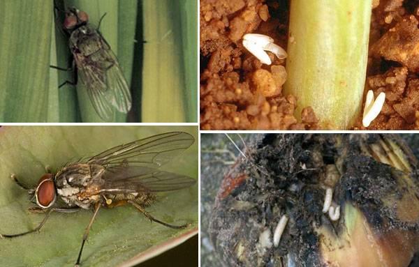 Как избавиться от луковой мухи на грядке - верные рекомендации   красивый дом и сад