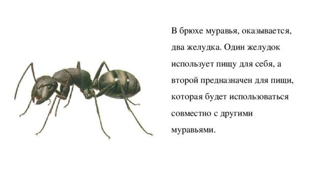 Строение муравья: сколько лап у насекомого?