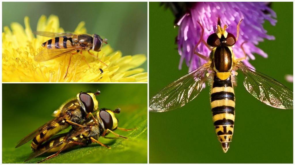 Название, описание и фото растения, которое ест мух