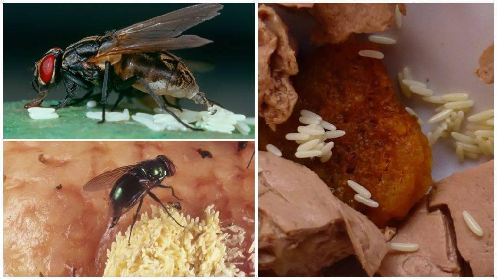 Размножение мух и интересные факты о них