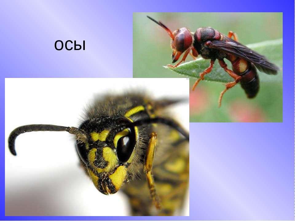 Кто такие осы: описание и виды, где живут в природе, как выглядят, продолжительность жизни и размножение, фото