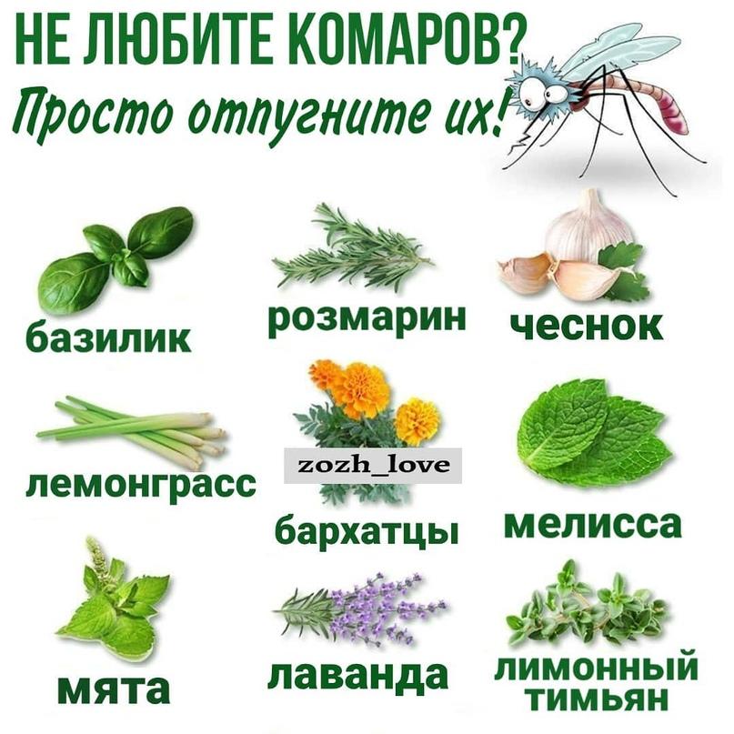 15 растений, которые прогонят комаров с участка