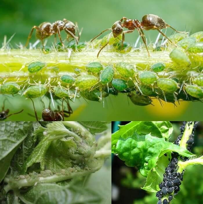 Как бороться с тлей на фруктовых деревьях. откуда берется тля на растениях. растворы с мылом и золой.