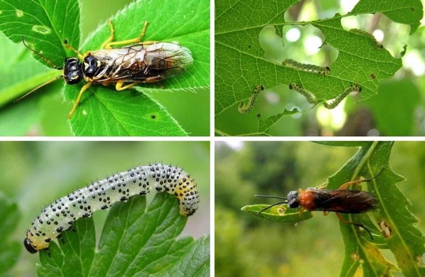 Гусеницы на крыжовнике объели листья, как бороться - препараты и народные средства