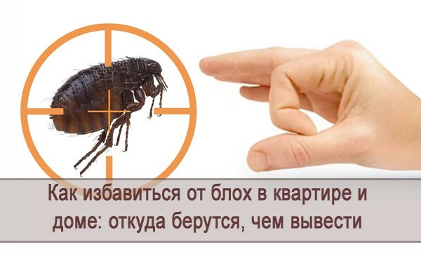 Блоха человеческая: укусы и варианты избавления