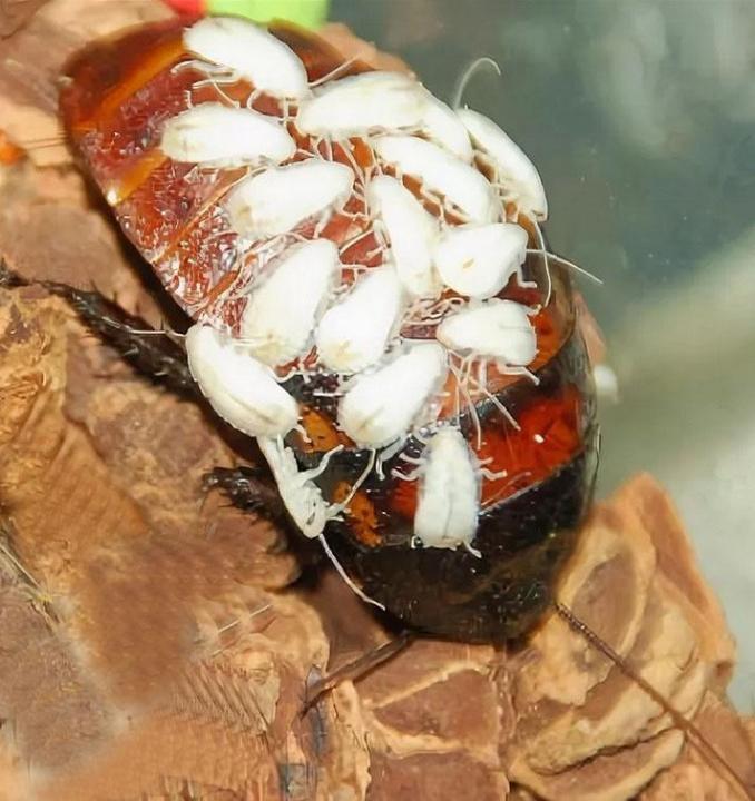 Рыжий таракан прусак