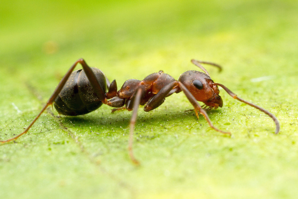 Что делать, если в квартире завелся фараонов муравей?