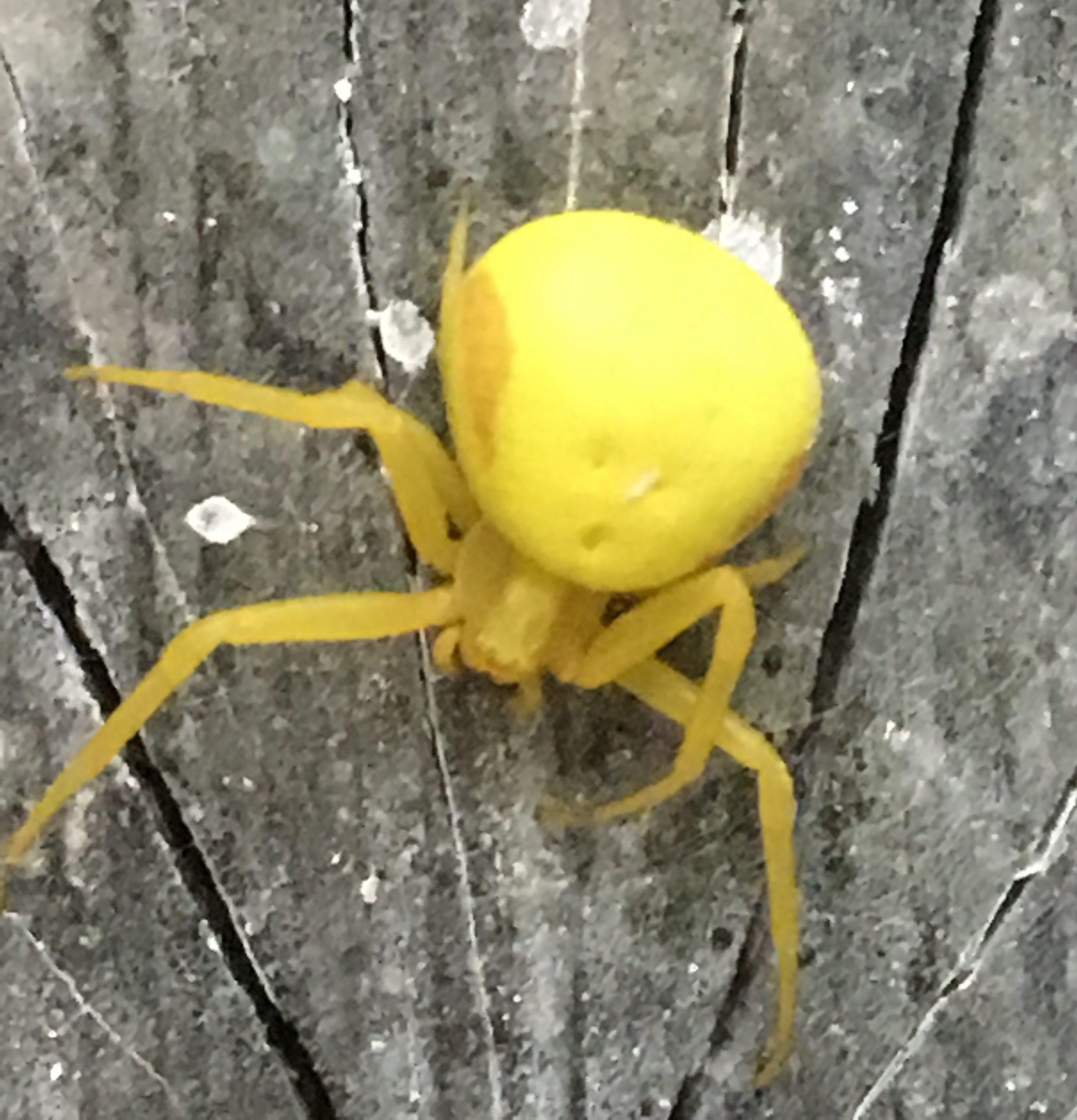 Чем опасен укус паука отшельника? где он обитает и чем питается?