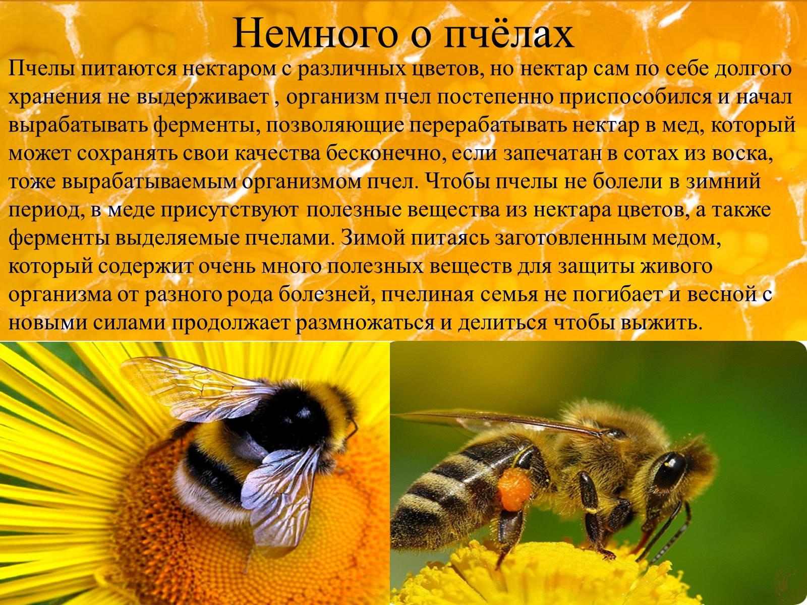 Дикие пчелы - основы пчеловодства, особенности и характеристика насекомого (105 фото)
