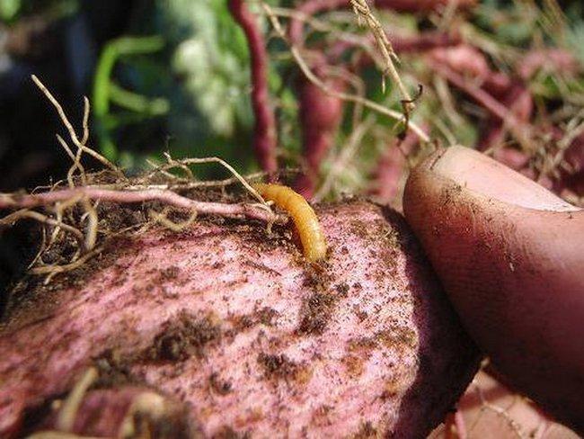 Как избавиться от жука-проволочника: народные средства и препараты