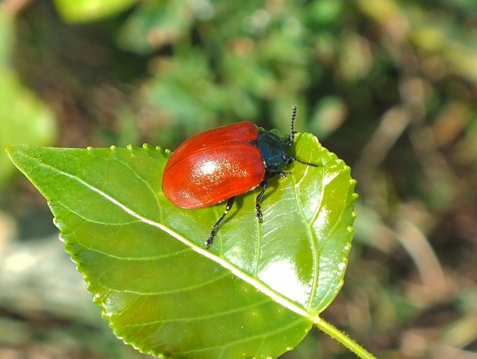 Гречишный листоед: особенности развития и интересные факты о насекомых
