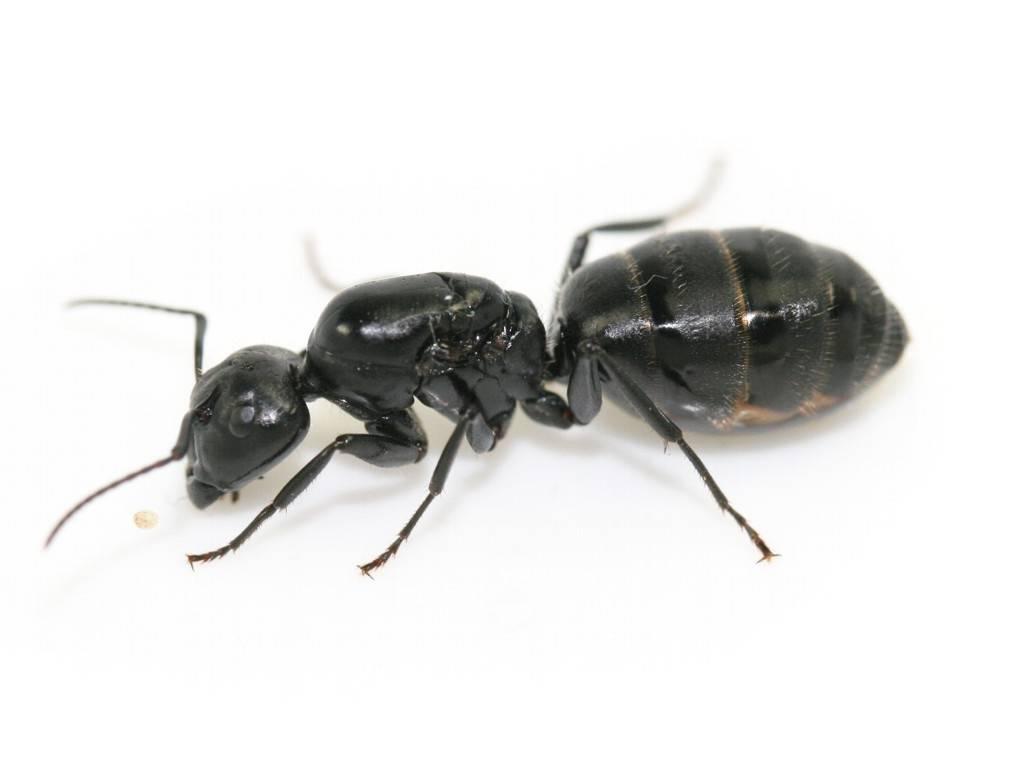 Чёрный муравей-древоточец