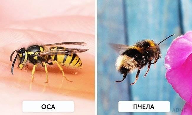 Чем отличается оса от пчелы: основные различия