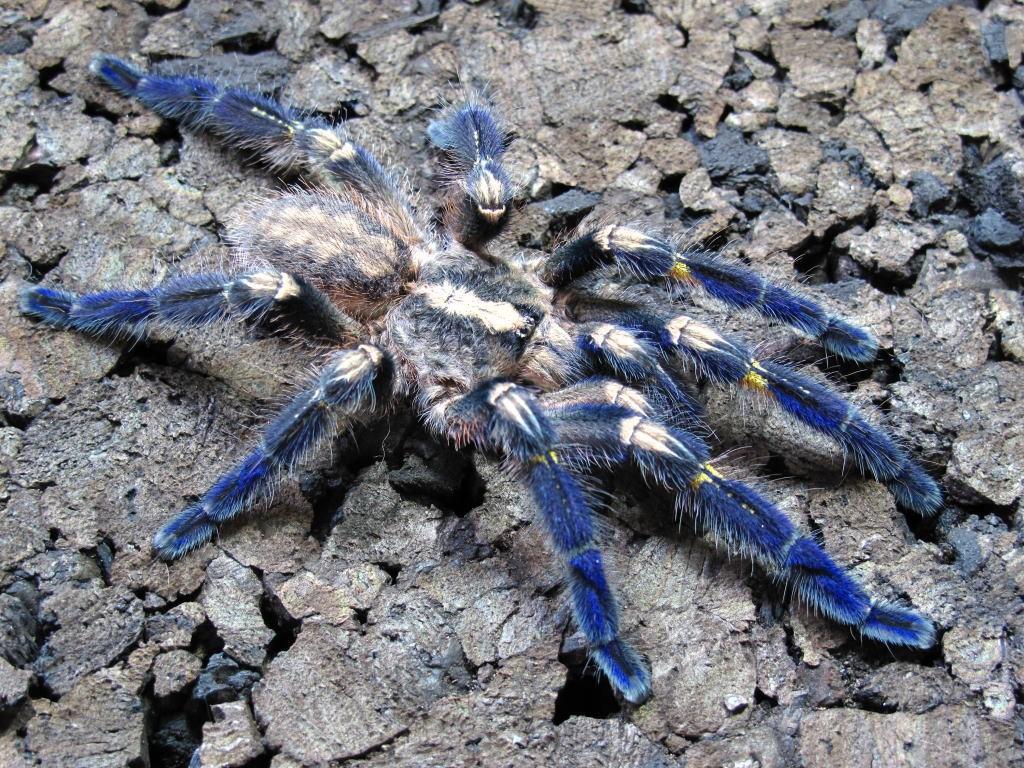 Укус паука-птицееда: опасен ли для человека и что делать в домашних условиях