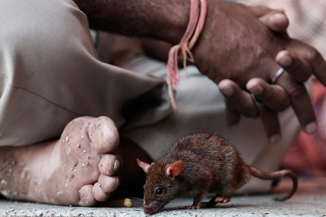 Боязнь мышей и крыс: название, виды, симптомы и лечение фобии