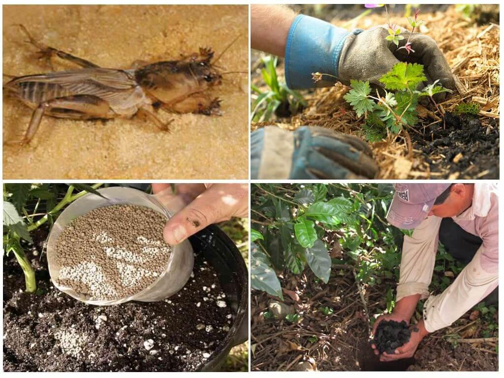 Медведки - как с ними бороться народными средствами на огороде?