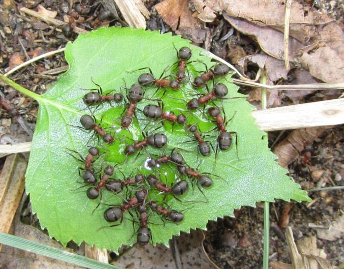 Что едят муравьи: чем питаются в природе и в домашних условиях?