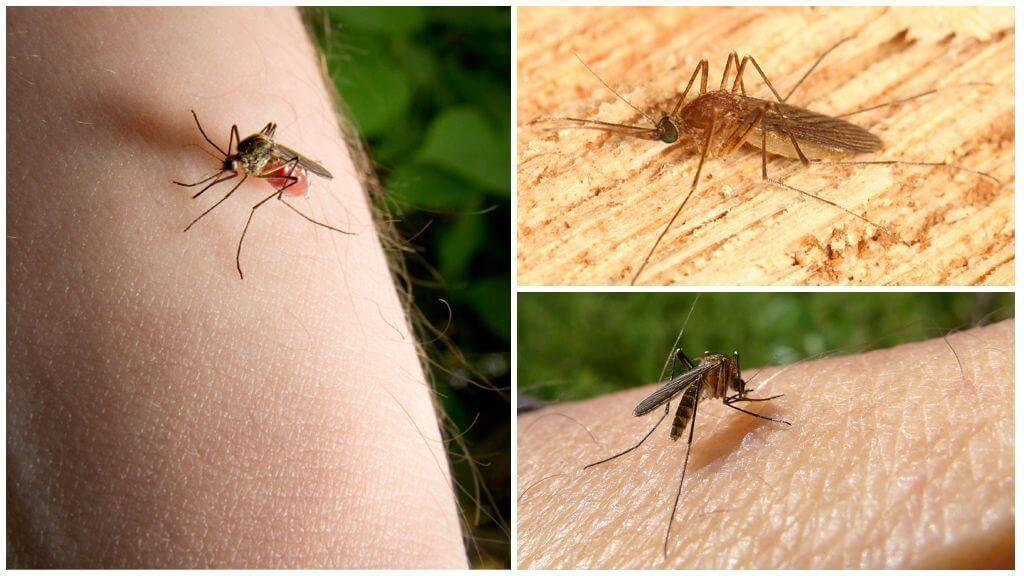 Зачем в природе нужны комары