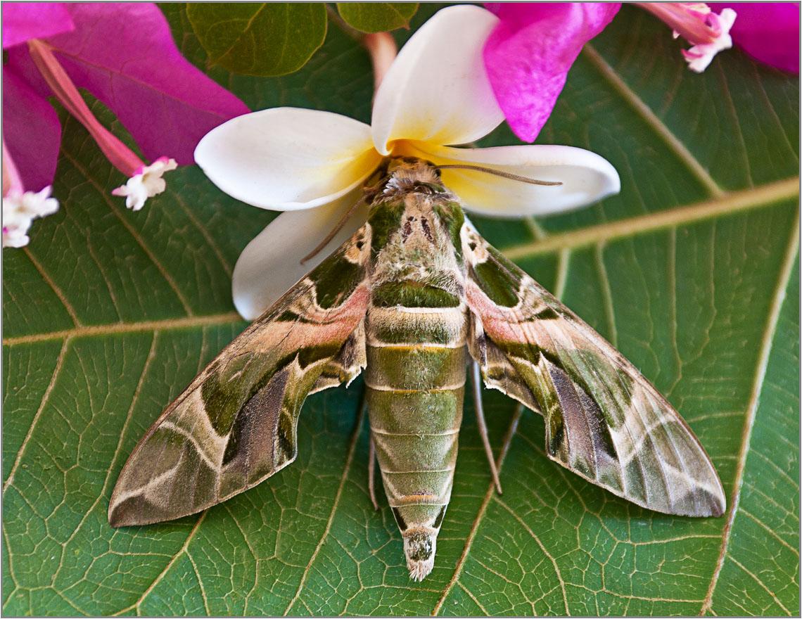 Бражник олеандровый: интересные факты, особенности вида. бражник бабочка