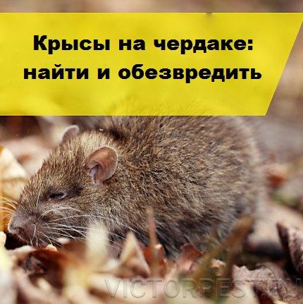 Могут ли крысы и мыши быть полезными, почитаемыми и съедобными?   животные