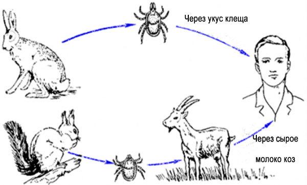 Защита и обработка коз от клещей. козы и клещевой энцефалит если козу укусил клещ можно пить молоко