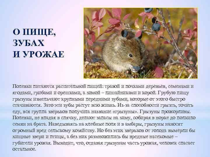 Мыши полевки с полосой на спине: симпатичные уничтожители урожая
