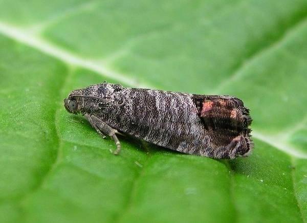 Обработка вишни и сливы от болезней и вредителей: как бороться с насекомыми и заболеваниями