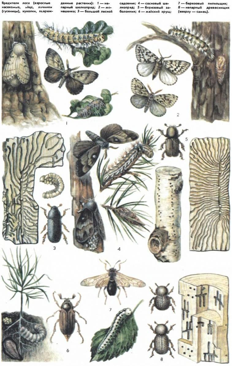 Общая информация о российских лесах - насекомые-вредители лесных древесных пород россии forest.ru - всё о российских лесах