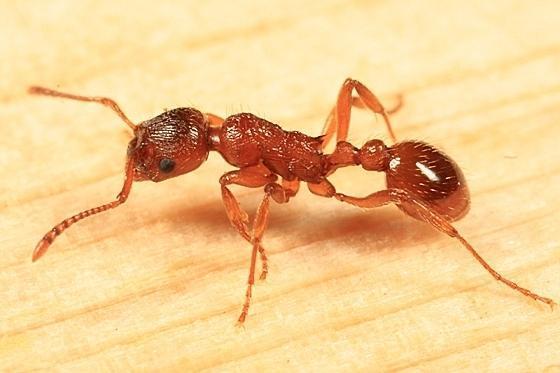 Список видов муравьёв россии — википедия