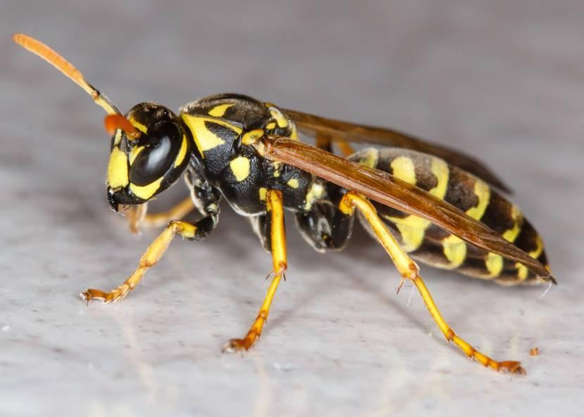 Кто такие осы, как живут и какие их разновидности существуют?
