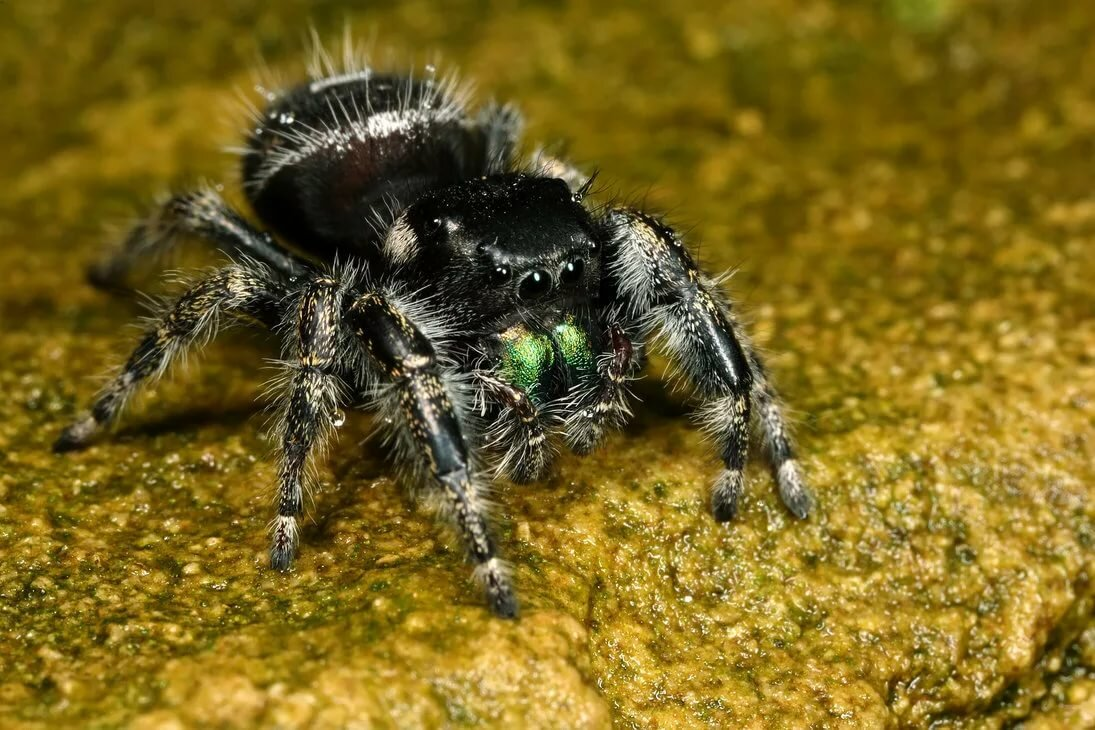 Паук-скакун — чемпион по прыжкам. паук-скакун – самый стремительный представитель своего семейства что любит носить паук скакун на голове
