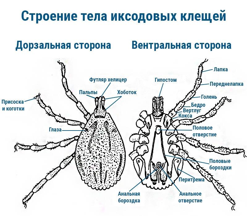 Как обезопасить себя от клещей, защита от укусов
