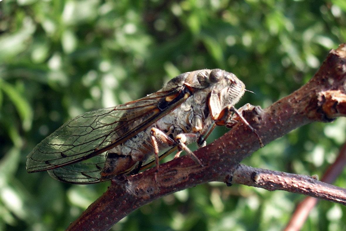 Цикада - что это такое и как выглядит: фото насекомого русский фермер