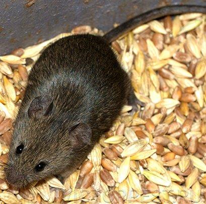 Как размножаются крысы в диких и домашних условиях