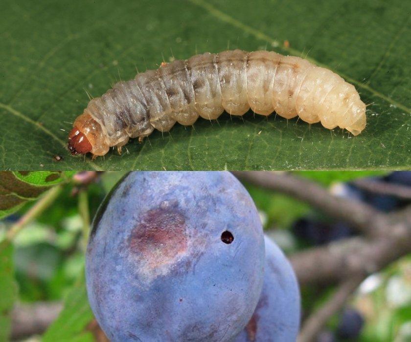 Болезни и вредители персика — профилактика и борьба
