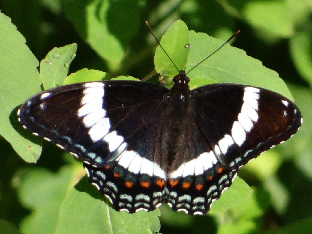 Бабочка адмирал: история названия, описание, миграция, фото