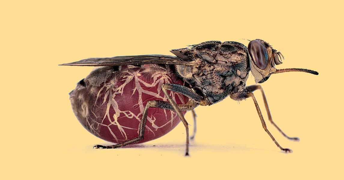 Муха цеце: где обитает, как выглядит, переносимые болезни