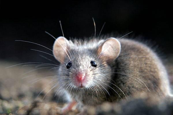 Отпугивание мышей из дома народными средствами: запах какой травы не любят мыши