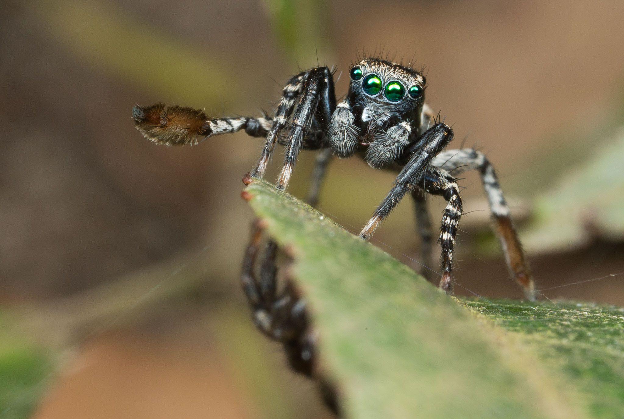 Что носить паук скакунчик на голове