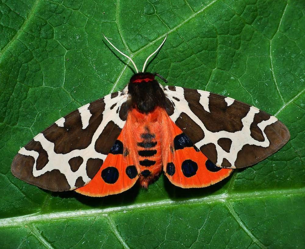 Бабочка махаон – украшение природы – 17 фото - картинки