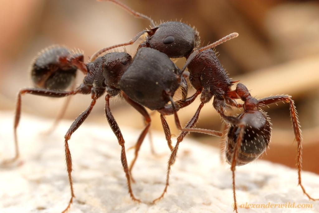 Бродячие муравьи — как выглядят, где обитают, отличительные особенности развития колонии
