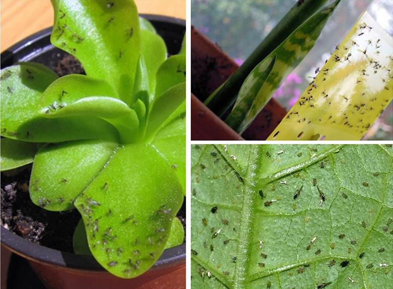 Тля на орхидеях: как избавиться в домашних условиях, фото, чем обработать