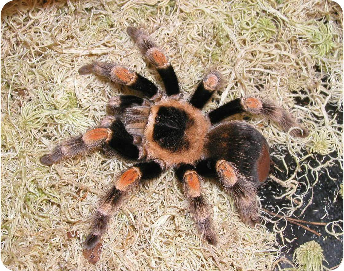 Содержание тарантулов в домашних условиях