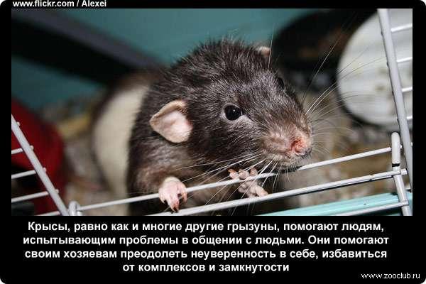 Крысы в доме: как определить их наличие и как избавиться от них?
