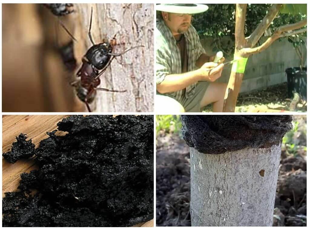 Муравьи на яблоне: как бороться с назойливым вредителем