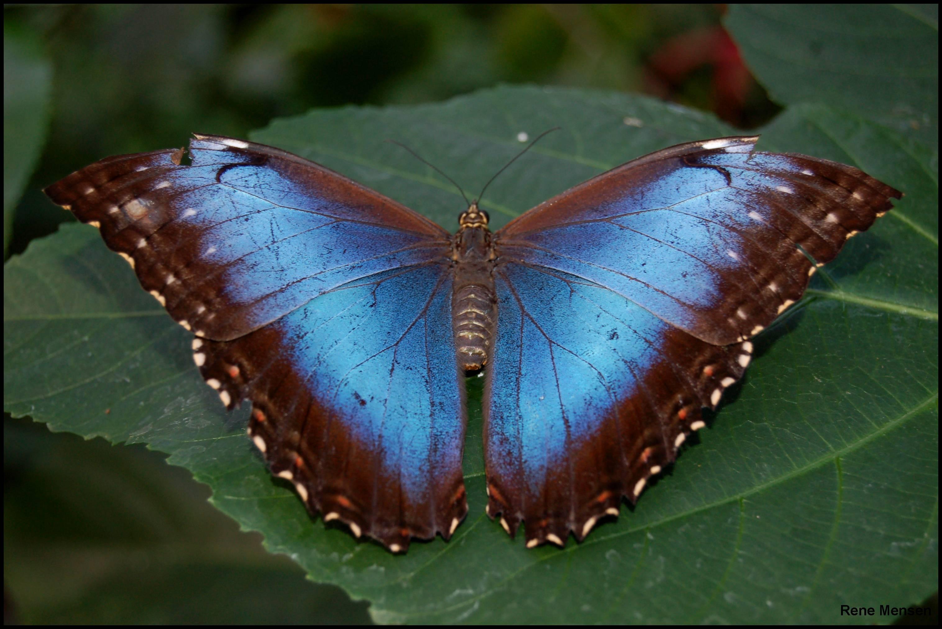 Бабочка морфо - своими руками
