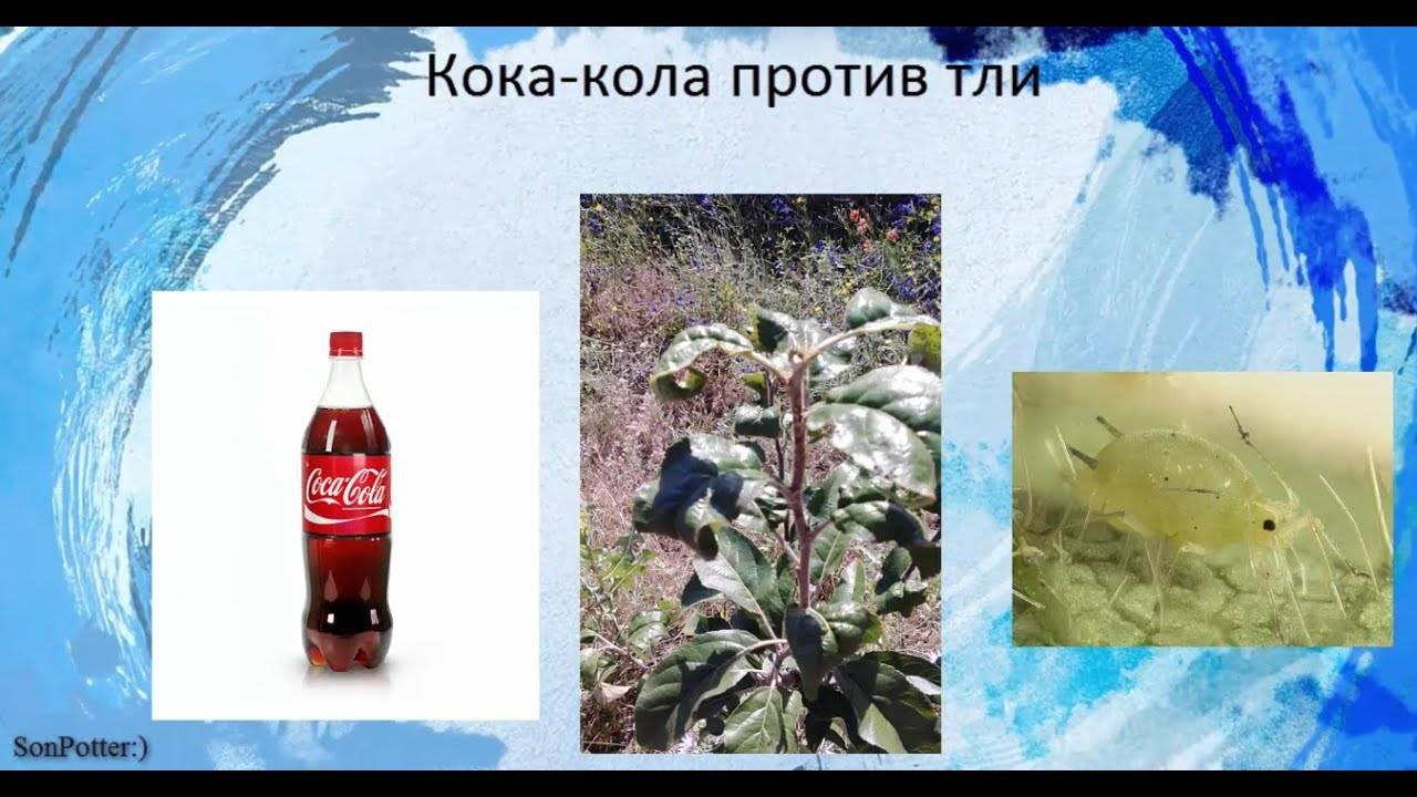 Кока-кола против тли - отзывы и как использовать