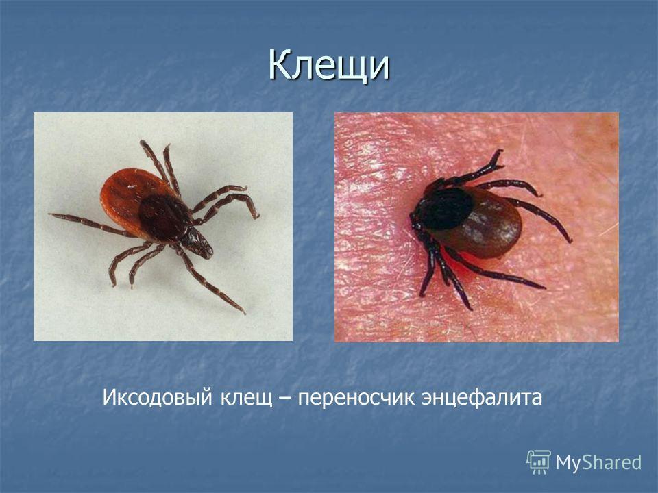 Таёжный клещ (ixodes persulcatus) – 10 фото, описание, жизненный цикл. главный враг человека на природе. как защититься и первая помощь при укусе