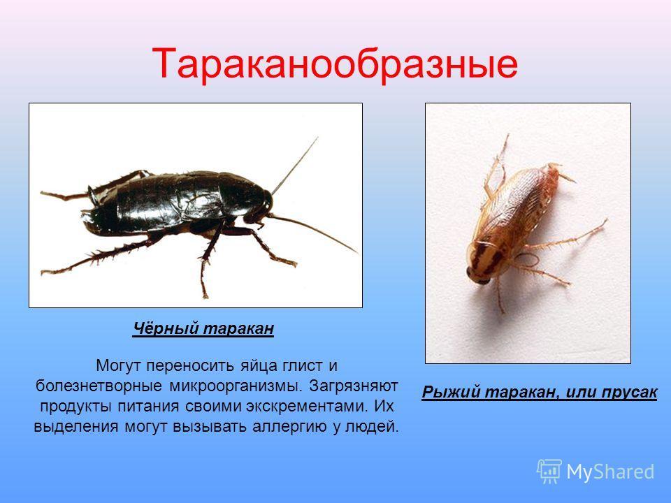 Чем опасны тараканы для человека: какие болезни переносят?